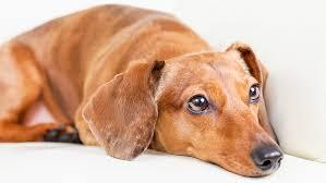 Probavni poremećaji kod pasa